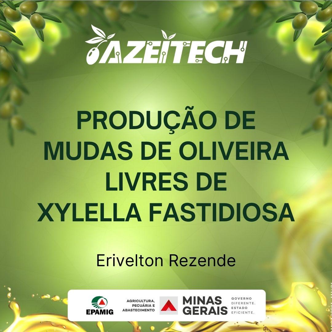 Mudas de oliveira livres de Xylella Fastidiosa